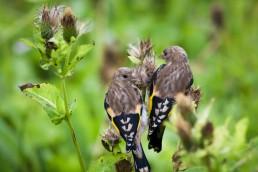 Birds in high Grass