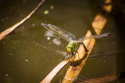 Dragon-Fly in the Water
