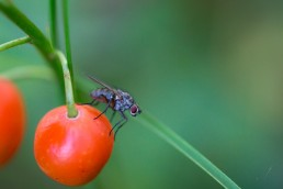 Fly on a Berry