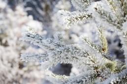 Snowy Twigs